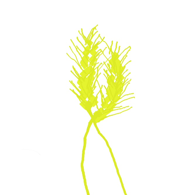【大麦】イネ科の一年草。高さ約1メートル。茎は中空で、節間は長い。葉は幅広く白緑色。太い円柱形の穂をつくり、長い芒(のぎ)がある。穂の形により六条大麦・四条大麦・二条大麦に分けられ、食用のほか、醤油・味噌・ビールなどの原料にする。茎は帽子などの細工物に使う。かちがた。ふとむぎ。