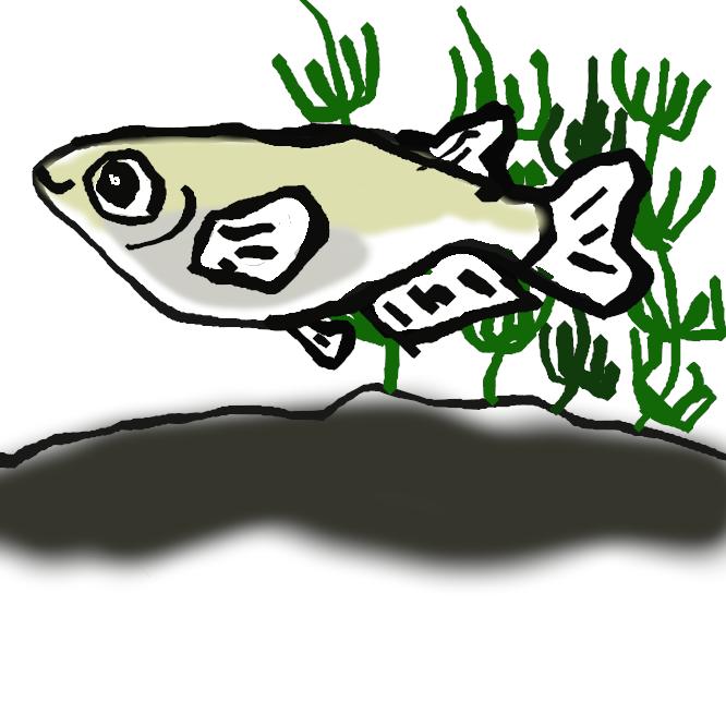 【目高】ダツ目メダカ科の淡水魚。平野部の小川や池沼、水田にすみ、群泳する。全長3、4センチ。体は細長くて側扁し、目が大きく、しりびれは雄のほうが雌より大きい。体色は淡暗褐色で、背を黒褐色のすじが走る。本州以南に分布し、地方名が非常に多い。変種のヒメダカやシロメダカは観賞用に飼育される。
