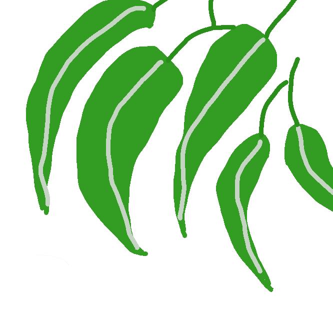 フトモモ科の常緑高木。高さ約60メートルにもなる。葉は卵形から笹の葉状に細長いものまであり、樟脳(しょうのう)のような香りがする。夏に開花し、緑白色の雄しべが目立つ。実は青白色の倒卵形で硬い。葉から精油をとり、材は建築などに使用。近縁種は500種以上あり、主にオーストラリアに分布。