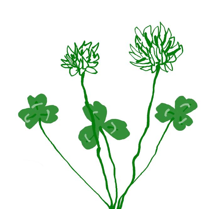 【白詰草】マメ科シャジクソウ属の多年草。別名、シロクローバー。