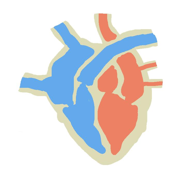 【心臓】血液循環の原動力となる器官。収縮と拡張を交互に繰り返し、静脈から戻ってくる血液を動脈に押し出し、全身に送るポンプの働きをする。ヒトでは握りこぶし大で、胸腔内の横隔膜のすぐ上、やや左側にあり、3層の膜に包まれ、内腔は隔壁・弁膜によって左右の心房・心室の4部分に分かれる。