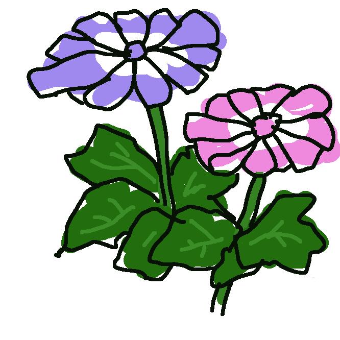 鉢花として栽培され園芸的には一年草として扱われる多年草。いくつかの野生種がもとになった交雑種。茎は直立し、全体にやわらかい毛がはえます。半球状にこんもりと育つものが多いです。葉は互生する単葉で長い葉柄をもち、角ばった心臓状卵形、葉の縁に細かい鋸歯があります。葉脈は掌状です。葉柄には翼がありますが、根出葉の葉柄には翼はありません。茎先に短く散房花序を出し、株を覆うほど多くの花をつけます。多くの園芸品種があり、花色は紅、桃、青紫、クリーム、白色など多彩で、蛇の目模様になるものもあります。