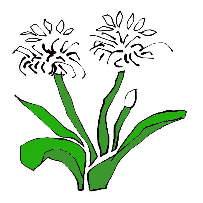 【浜木綿】ヒガンバナ科の常緑多年草。暖地の海岸に自生し、葉は長く幅広で、質は厚い。夏、葉の間から花茎を伸ばし、十数個の香りのある白い花を傘状につける。花びらは細長く、反り返る。
