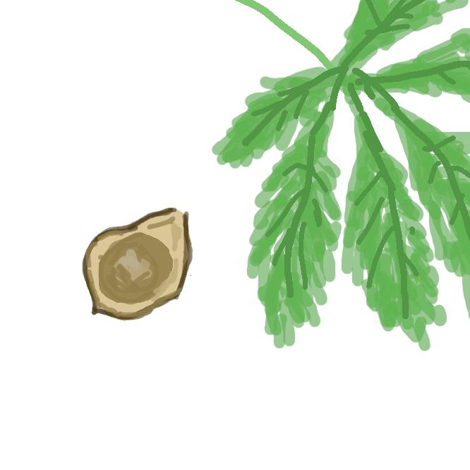 トチノキ科の落葉高木。樹皮は灰褐色で、葉は大きく、5〜7枚の倒卵形の小葉からなる手のひら状の複葉。初夏、赤みがかった白色の花を円錐状につける。実の殻にはとげがある。バルカン半島の原産で、街路樹などにされる。うまぐり。