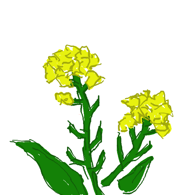 【菜の花】アブラナの花。菜種の花。花菜(はなな)。